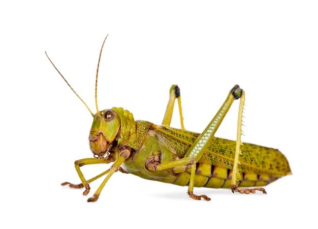Гигантская саранча - tropidacris collaris