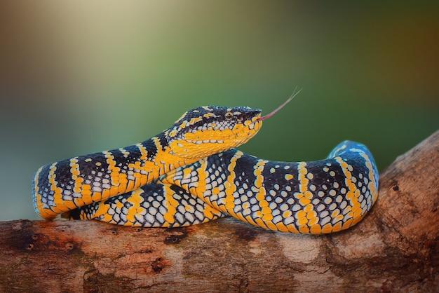 庭で怒っているtropidolaemuswagleriヘビ毒蛇ヘビ森のコブラ