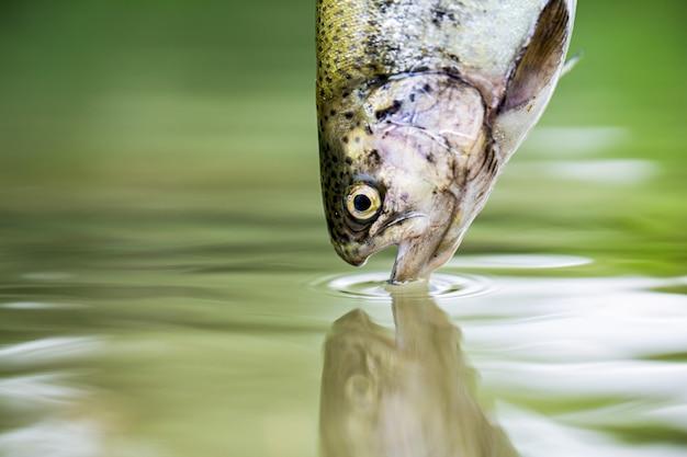 산 호수의 녹색 물에 송어입니다. 물에 무지개 송어 클로즈업입니다. 어업. 무지개 송어 물고기 점프. 호수에 무지개 송어