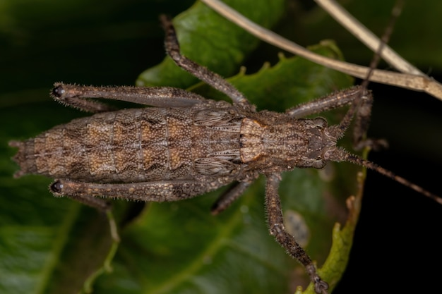 True katydid nymph of the subfamily pseudophyllinae