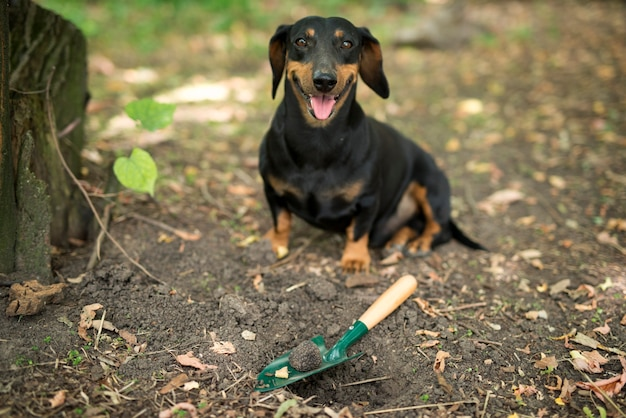 トリュフのキノコの植物と訓練を受けた犬が森で高価なトリュフを見つけて幸せ