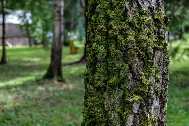 The trunk of a birch tree, overgrown with green moss on the north side, against the background of a forest with sparse trees and low green grass.