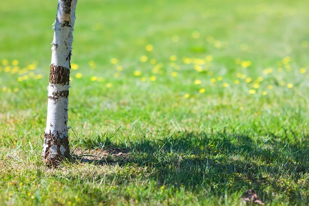Trunk of birch tree with blurred green background yellow flowers