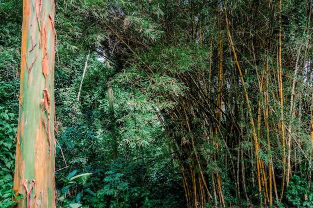 ジャングルの中の大きな木の幹と竹。コスタリカ、トゥリアルバ
