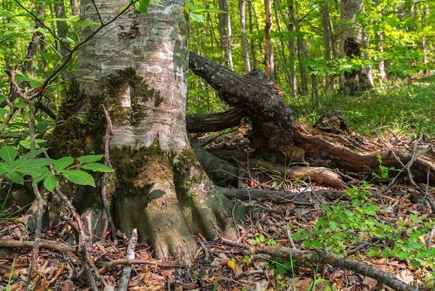 Ствол старого дерева в зеленом лесу