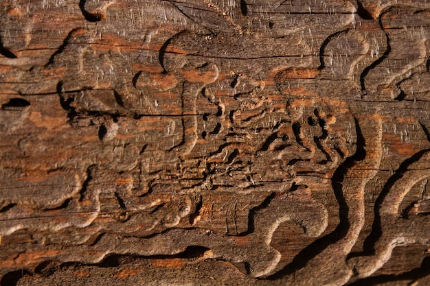The trunk of a pine tree eaten by a bark beetle close up