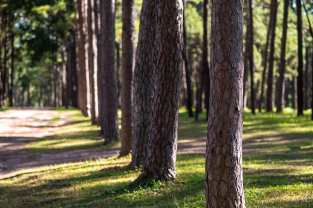 Trunk of pine trees in forest with sun light