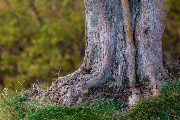 Trunk and roots of olive tree. defocused texture with bokeh in green tones (olive, light and dark, ocher)