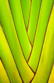 Trunks of banana plants. abstract tree background. structure of a decorative banana branch