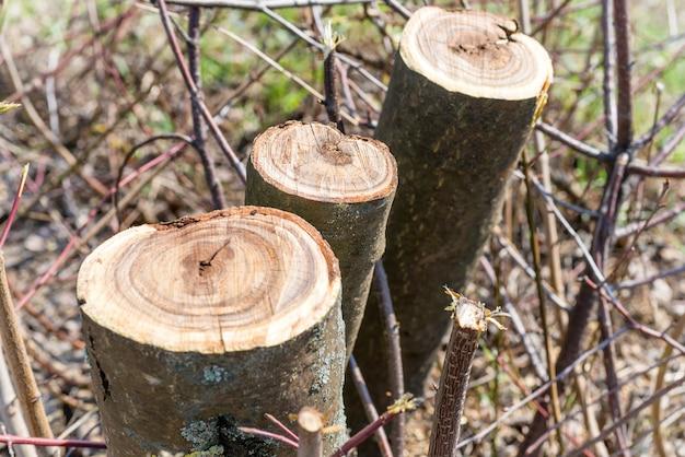 春に伐採された木の幹