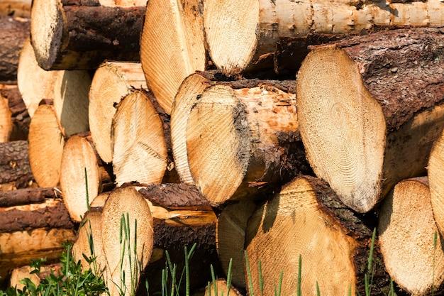 Стволы из натуральной древесины сосны с годичными кольцами при заготовке древесины для обработки древесины в лесном хозяйстве.
