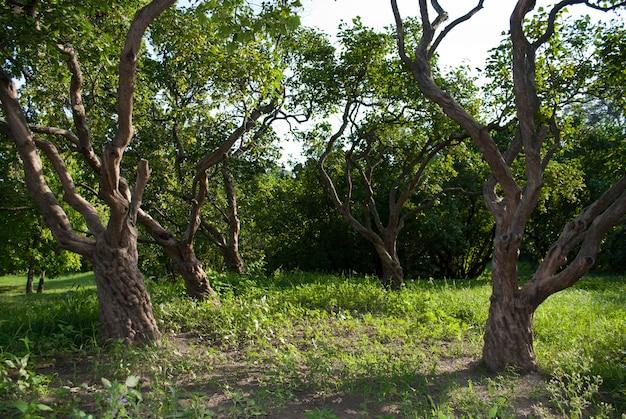 公園内の古いライラックの木の幹