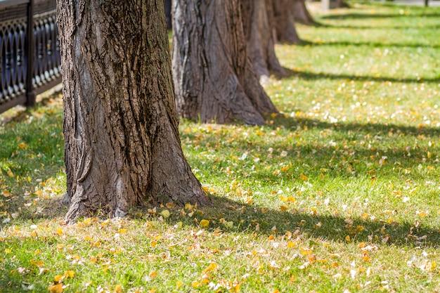 Стволы деревьев в солнечном свете утра паркуют взгляд перспективы. ряд старых больших деревьев в городском парке на лужайке с зеленой травой и опавшие листья.