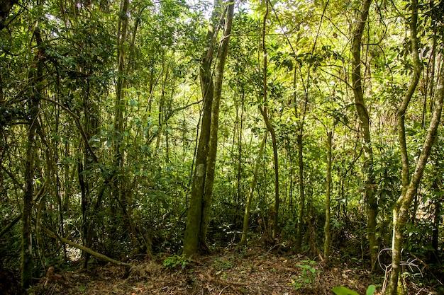 Стволы деревьев со мхом на тропических лесах бразилии.