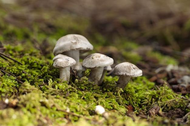 Ciuffo di fungo inornata di atractosporocybe