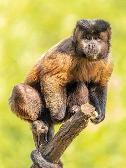 술이 달린 카푸친 원숭이(sapajus apella), 일명 마카코 프레고(macaco-prego)가 브라질 야생에 들어왔습니다.