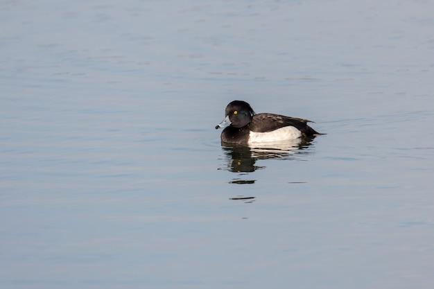 런던의 호수에 있는 tufted duck(aythya fuligula)