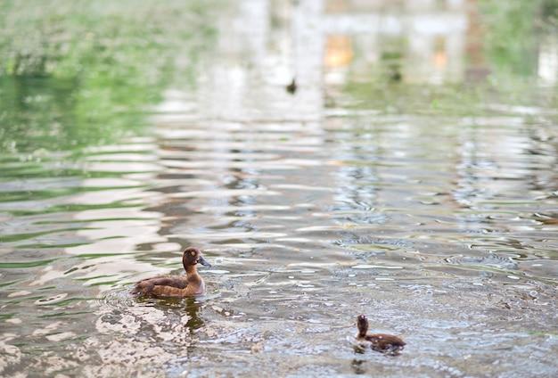 В озере плавают хохлатые утки. . горизонтальный снимок милых уток, плавающих в озере.