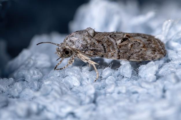 Tufted moth of the genus garella