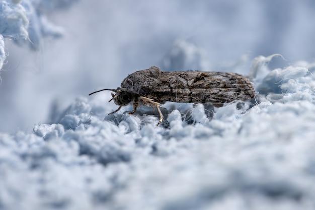 ガレラ属の房状の蛾