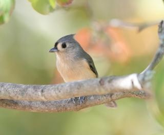 Tufted titmouse in a tree