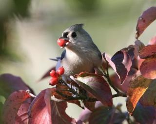 Tufted titmouse with a berry