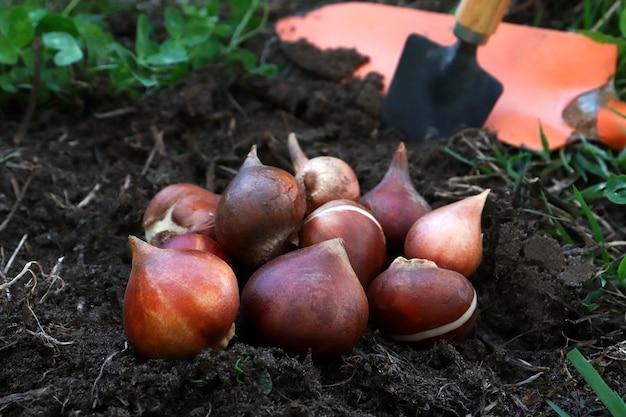 꽃 침대에 정원 옆에 튤립 전구 클로즈업. 가을이나 봄에 튤립을 심는 개념.