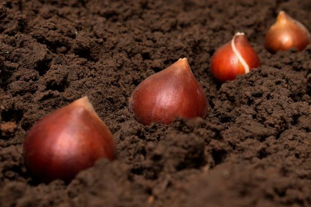 土壌中のチューリップの球根。あなたの庭の秋に地面にチューリップの球根を植えます。ガーデニング、トラック農業、ダーチャの概念。
