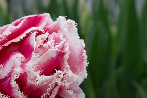 Тюльпан крупным планом с розовато-белыми лепестками на зеленом фоне