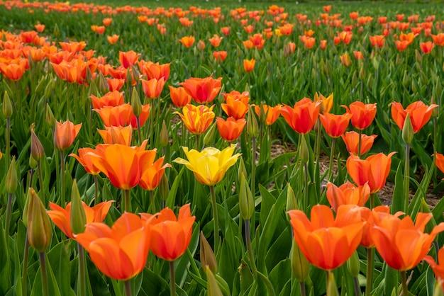 主にオレンジ色のチューリップが咲くオランダ、クルキウスのチューリップ畑。