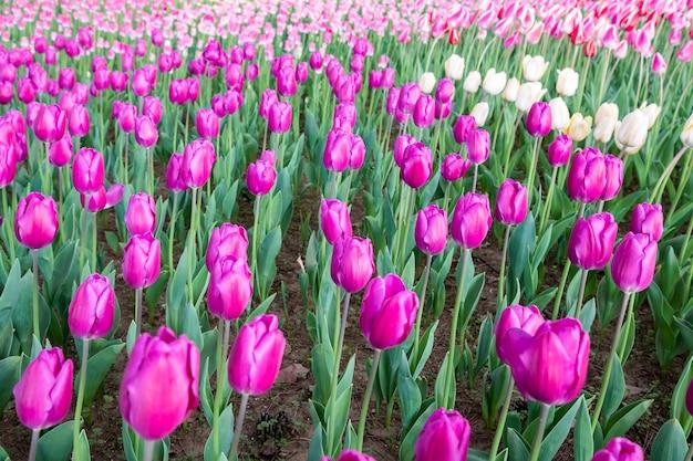 Поле тюльпанов в японии