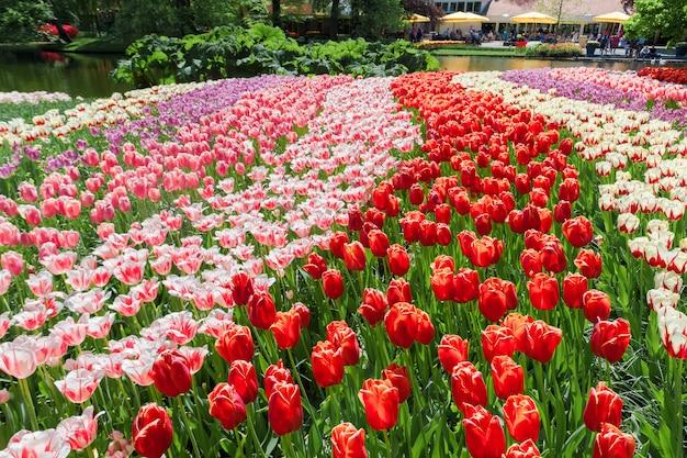 Keukenhof 정원, lisse, 네덜란드의 튤립 밭