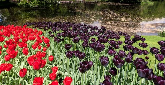 Поле тюльпанов в садах кёкенхоф, лиссе, нидерланды