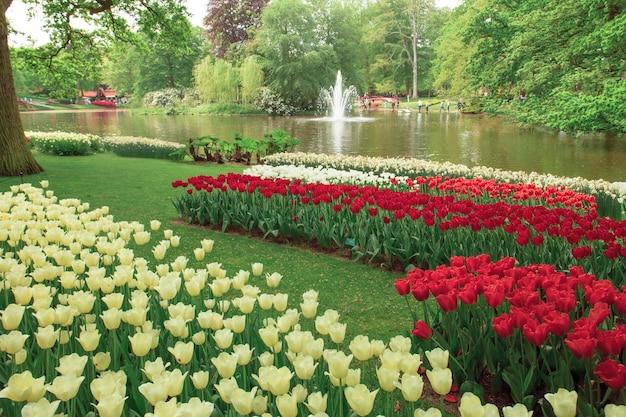 Поле тюльпанов в садах кекенхоф, лиссе, нидерланды