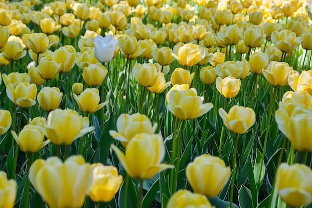 아름답게 노란색과 흰색 피는 튤립이있는 공원의 튤립 밭