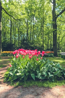Tulip field in keukenhof flower garden, lisse, netherlands, holland