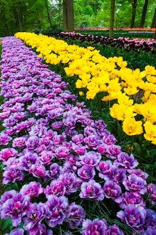 Campo di tulipani in keukenhof giardino fiorito, lisse, paesi bassi, olanda