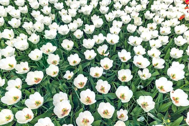 Il campo dei tulipani nel giardino fiorito di keukenhof