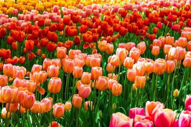 Campo di tulipani in giardini keukenhof, lisse, paesi bassi