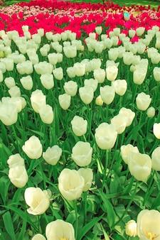 Campo di tulipani nei paesi bassi o in olanda