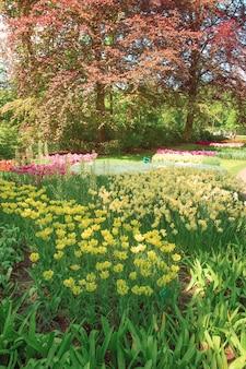 Il campo di tulipani nei paesi bassi