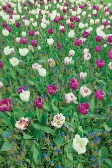 The tulip field in netherlands