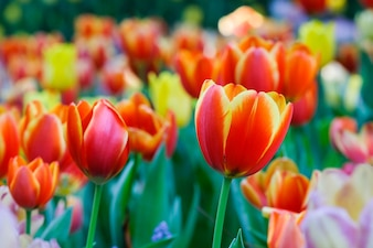 Tulip flower background, Colorful tulips meadow nature in spring