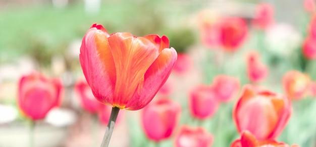 Тюльпан цветок фон в поле тюльпанов в зимний или весенний день