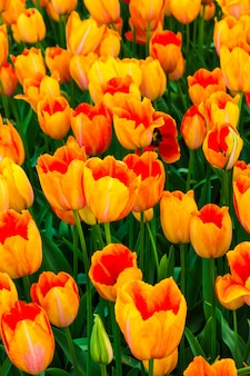 Tulip flower field