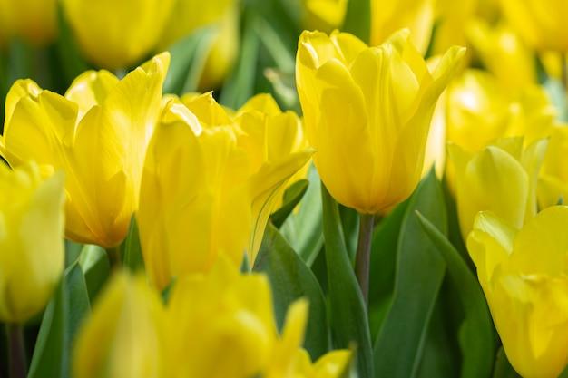 冬または春の日にフィールドにチューリップの花。