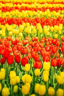 Цветок тюльпана в весенний сезон в нидерландах.