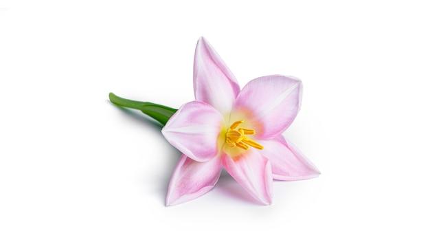 Цветок тюльпана, изолированные на белом фоне. фото высокого качества