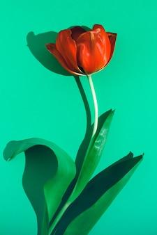 Цветок тюльпана на зеленом фоне в солнечном свете.