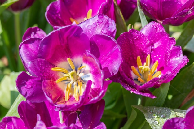 冬または春の日に緑の葉の背景を持つチューリップの花。